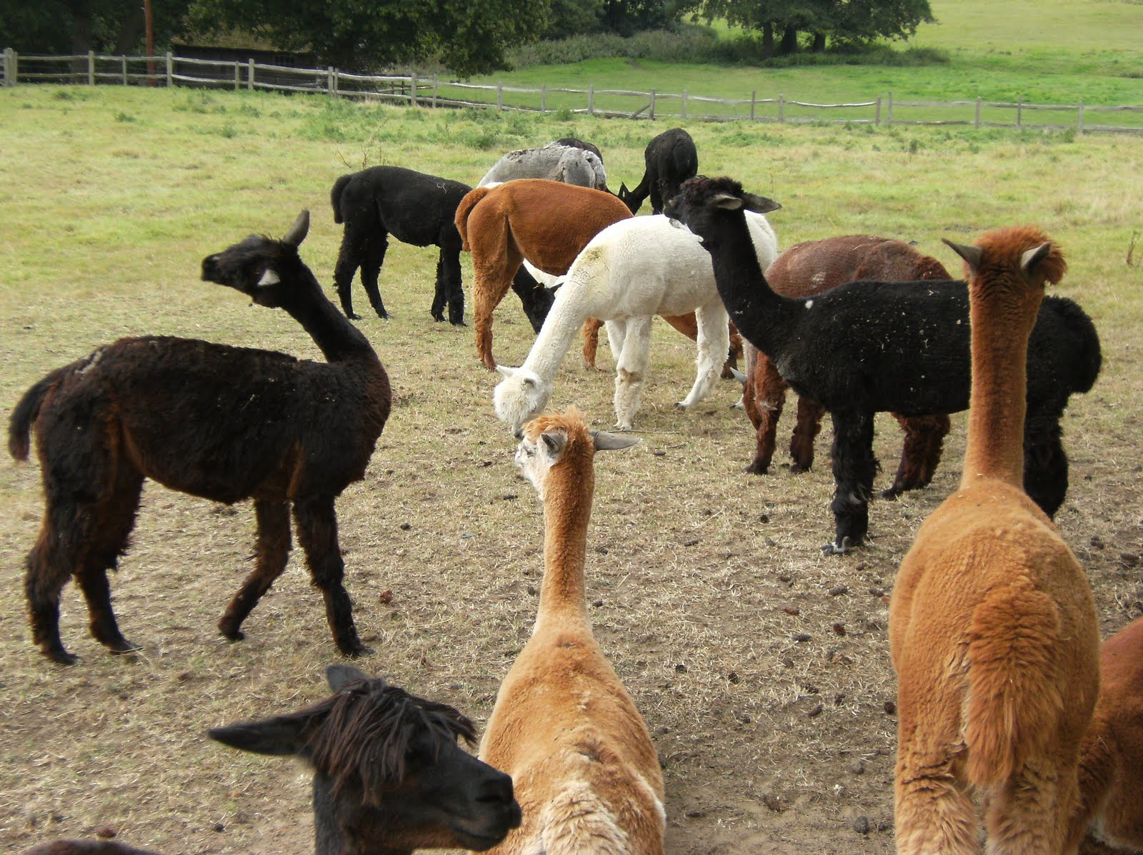 DSCF1948 Alpacas, Little Santon Farm