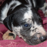 Suzy's harlequin boy @ 3 weeks