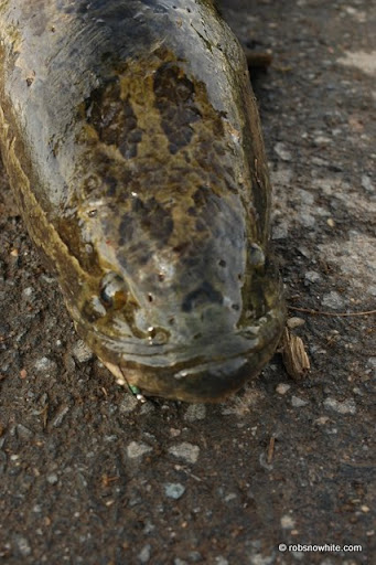 snowhite tidal basin snakehead