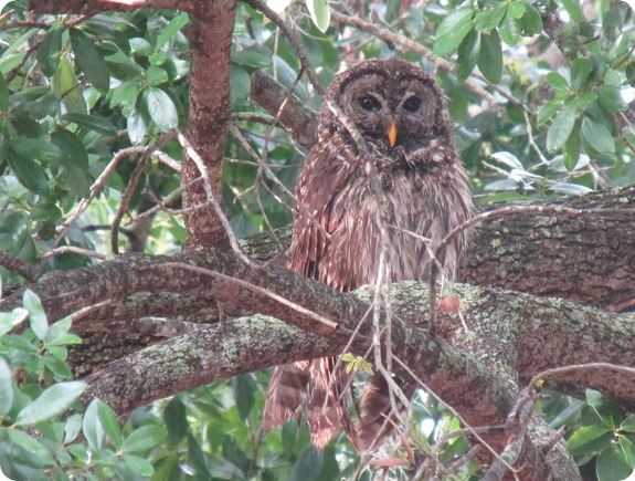 7 Barred Owl Strix varia (2)