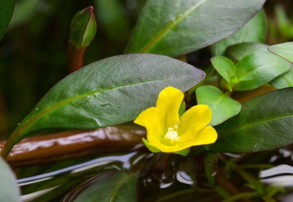 Людвигия наклоняющаяся (Ludwigia inclinata)