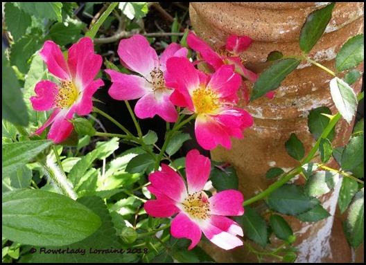 03-06-two--tone-carpet-roses2