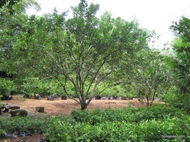 Calamansi Orchard - IMG_0206.jpg