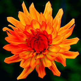 Dalhia n000213 by Gérard CHATENET - Flowers Single Flower