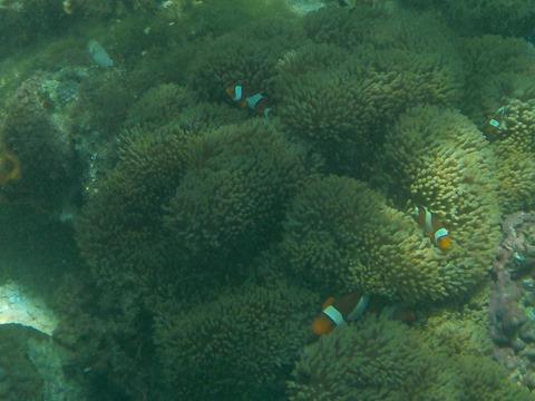 peces payaso en el Jardín de Coral
