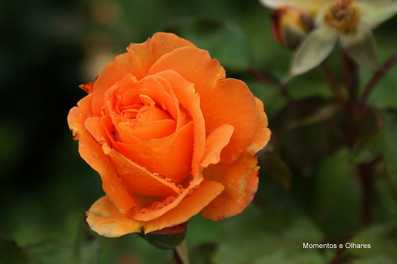 A cor da rosa