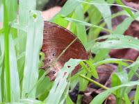 Tawny Palmfly (Elymnias panthera panthera)