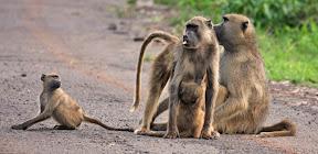 Baboon Family, Botswana