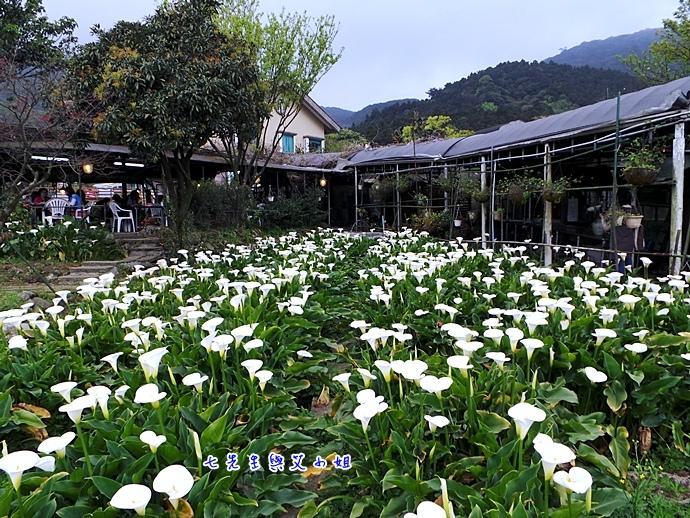12 苗榜海芋園