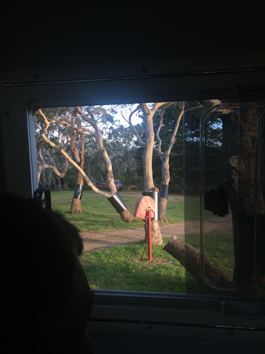Looking out our RV window in Bimbi Park we could see Koalas. Check the 1st fork of the right tree.