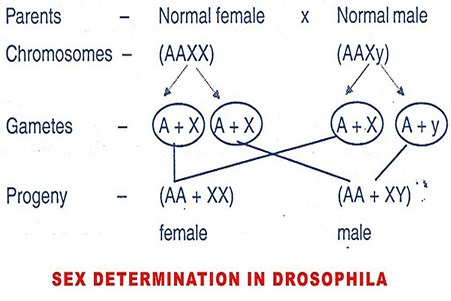 SEX DETERMINATION-DROSOPHILA