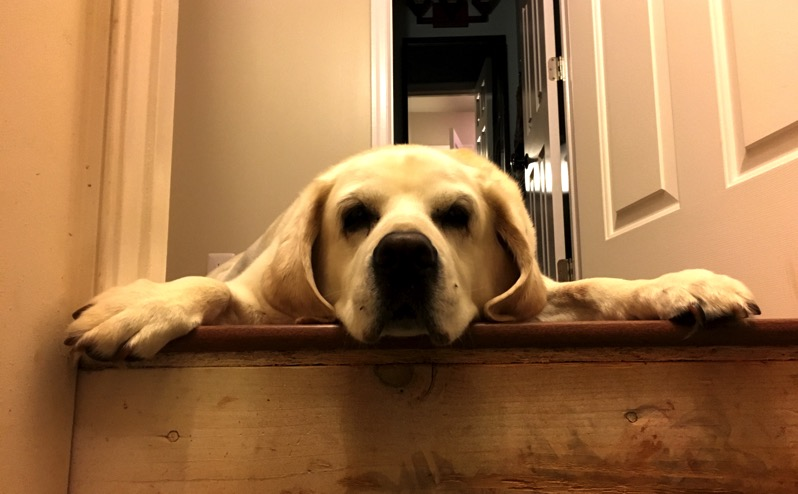 White Labrador Retriever laying on top stop