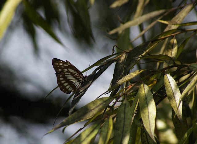 Neptis dejeani OBERTHÜR, 1894. Shaxi (Yunnan), 11 août 2010. Photo : J.-M. Gayman