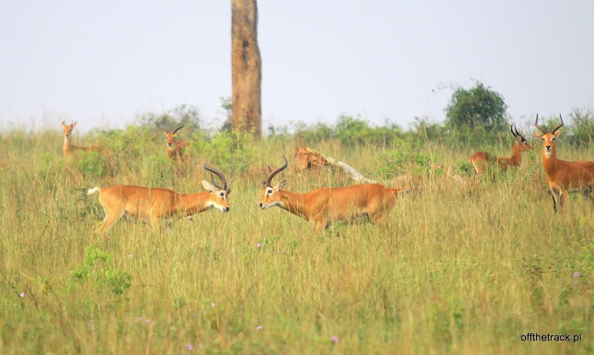 Dwie antylopy Kob walczą ze sobą na sawannie, park narodowy Murchison Falls, Uganda