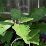 Gardening 2010, Part Two - 101_2723.JPG