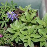 Gardening 2012 - IMG_2771.JPG