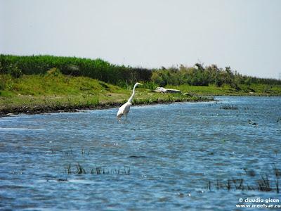 egretă albă și calmă pe grindul Caraorman