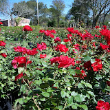 cultivo de plantas florales perennes - 100_0158.JPG