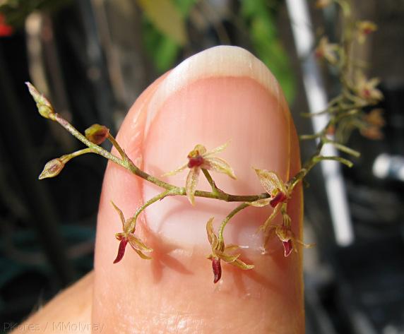 Растения из Тюмени. Краткий обзор - Страница 7 Platystele%252520misera
