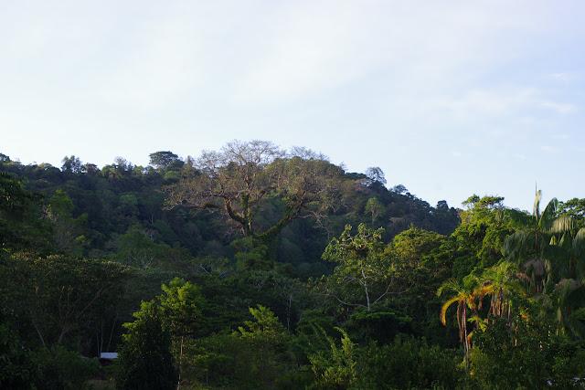 Le grand Fromager (Ceiba) vu depuis les Carbets du Bord à Saül, 15 novembre 2012. Photo : J.-M. Gayman
