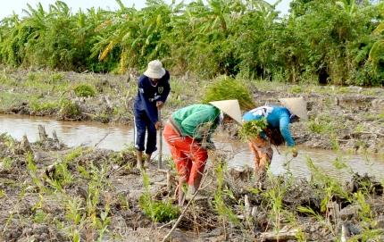Cà Mau: Trồng rừng thâm canh tăng hiệu quả kinh tế - 55e8c22c93ef1