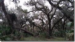 Oaks and moss