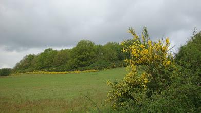 Photo: En ce début mai, toute la lisière de la forêt est bordée de genets en fleur
