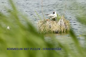 Kokmeeuw met pullen -  Eernewoude (18).jpg