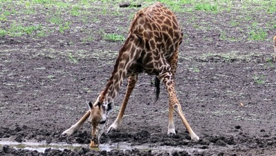 Giraffe Calf Drinking