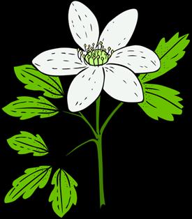 Gerald-G-KU-anemone-piperi