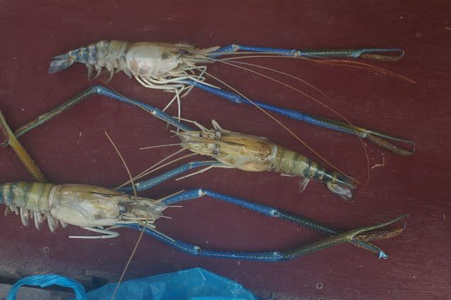 Crustacés de la Kinabatangan (Sabah, Malaisie), 5 août 2011. Photo : J.-M. Gayman