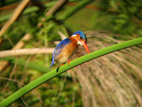 Malachite Kingfisher - Okavango Delta