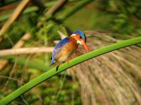 Malachite Kingfisher - Okavango Delta