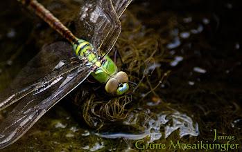 Photo: Grüne Mosaikjungfer    Die grüne Mosaikjungfer wird in der Roten Liste Deutschlands in der Kategorie 1 – vom Aussterben bedroht – geführt. Das Verschwinden der Libelle ist bedingt durch ihre enge Bindung an eine bestimmte Wasserpflanze, die sogenannte Krebsschere (Stratiotes aloides).