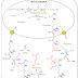 O ciclo da ureia tem início na matriz mitocondrial e depois segue para o citosol