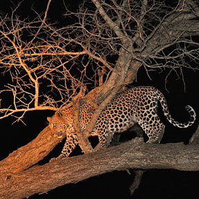 Female Leopard After Dinner, South Africa