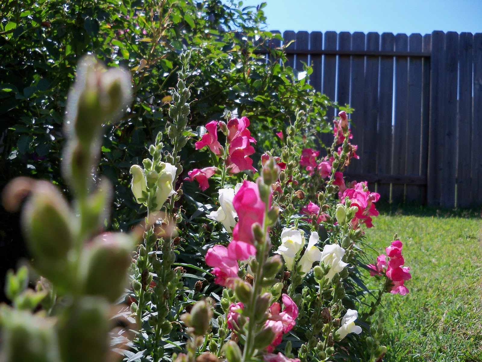 Gardening 2011 - 100_9066.JPG