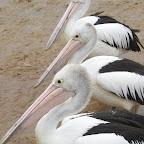 Merimbula - Pelikane