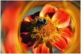 """""""Poo Dahlia Swirl with Bee"""" by Bill Black - Honorable Mention A Special"""