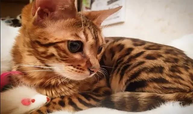 Les chats du bengal sont-ils gourmands