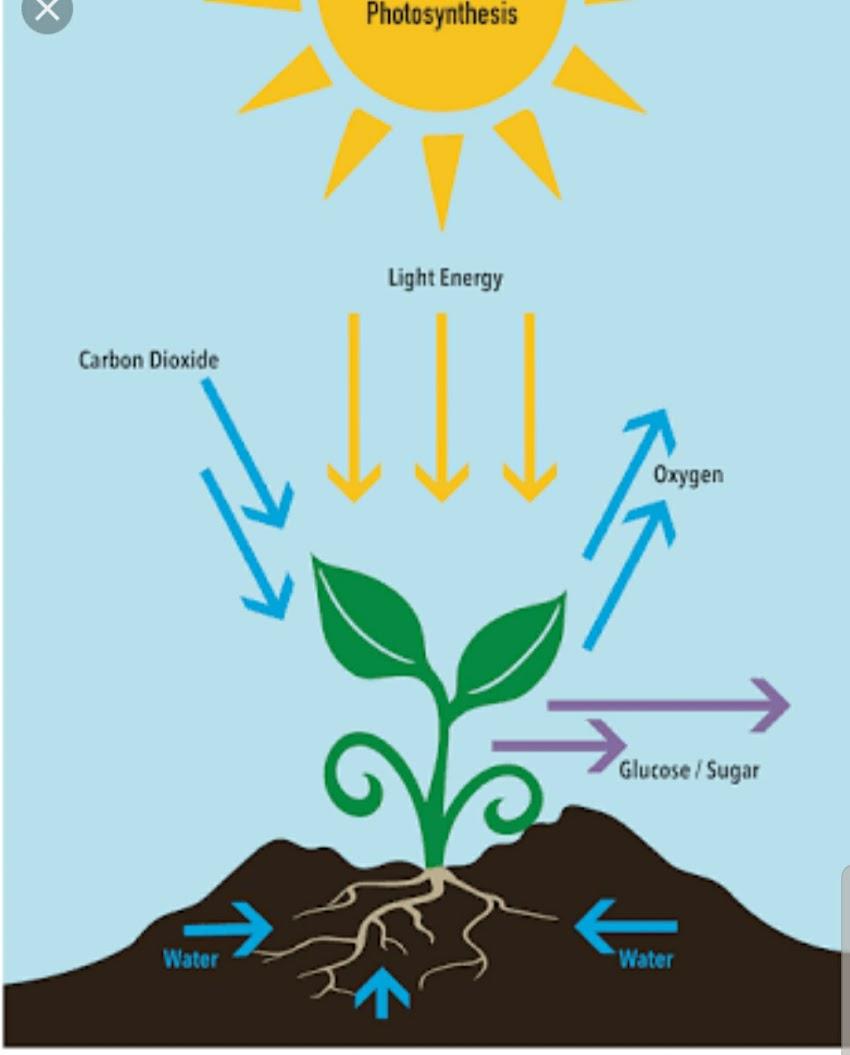 Do plants reallly breathe ?