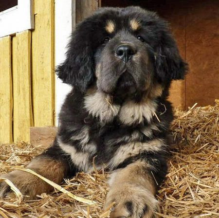 Chó Rottweiler lai Newfoundland - New Rottland