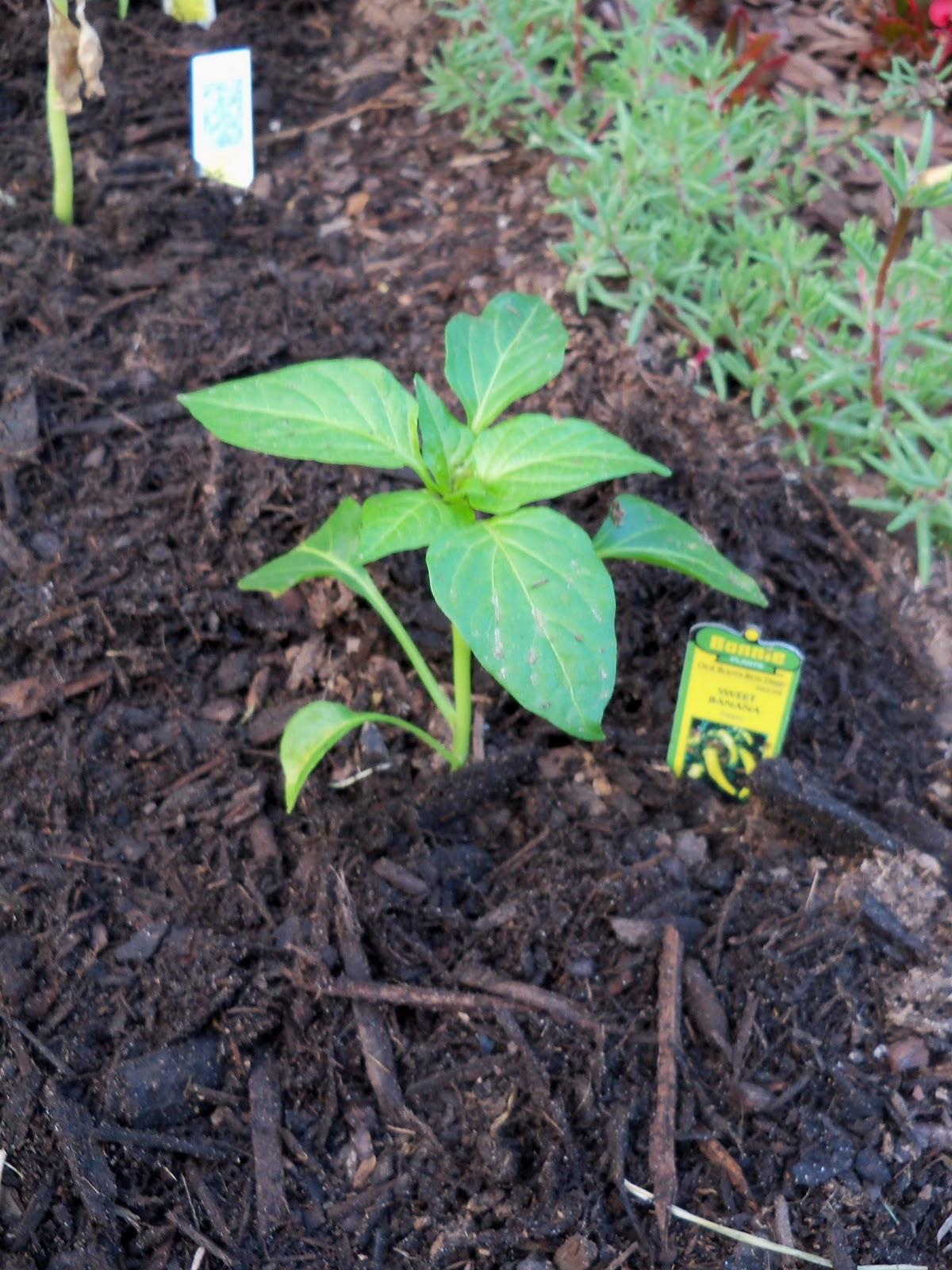 Gardening 2010, Part Two - 101_2001.JPG