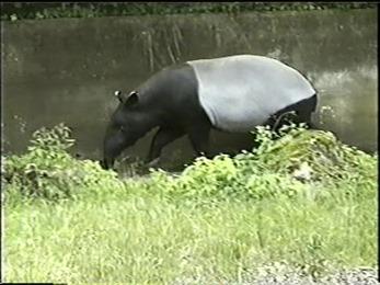 1995.06.16-025 tapir