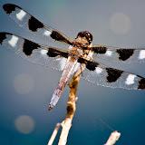 dragonfly_MG_6353-copy.jpg