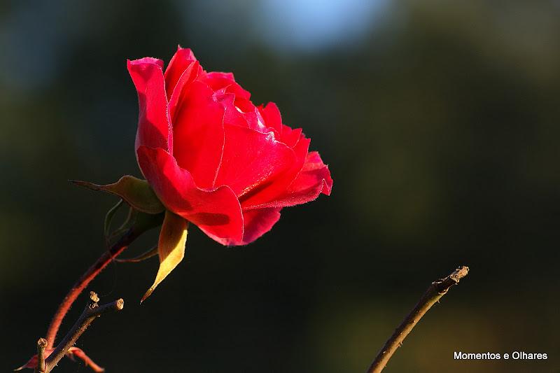 Rosa de inverno