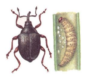 вредные насекомые, луковая журчалка, луковая моль, луковая муха, луковая нематода, уход за луком
