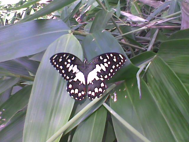 Papilio demoleus malayanus WALLACE, 1865, Samarinda, Kalimantan Timur. Photo : Wempi