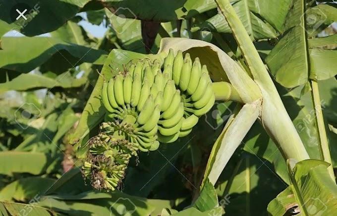 Botanical name of banana