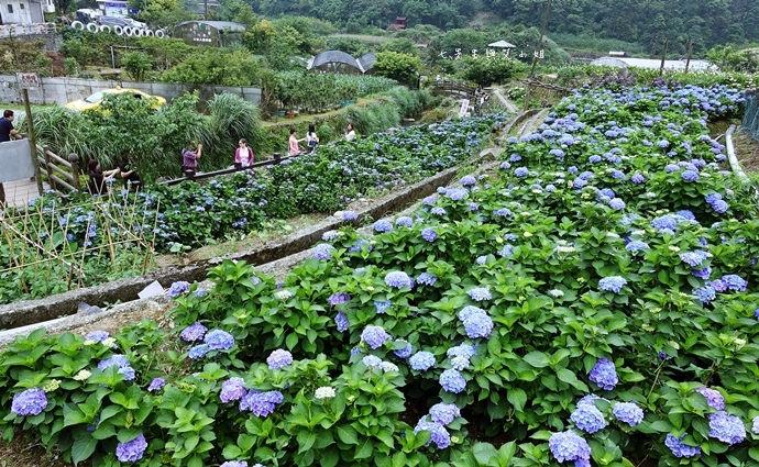 1 陽明山 繡球花 大梯田 竹子湖
